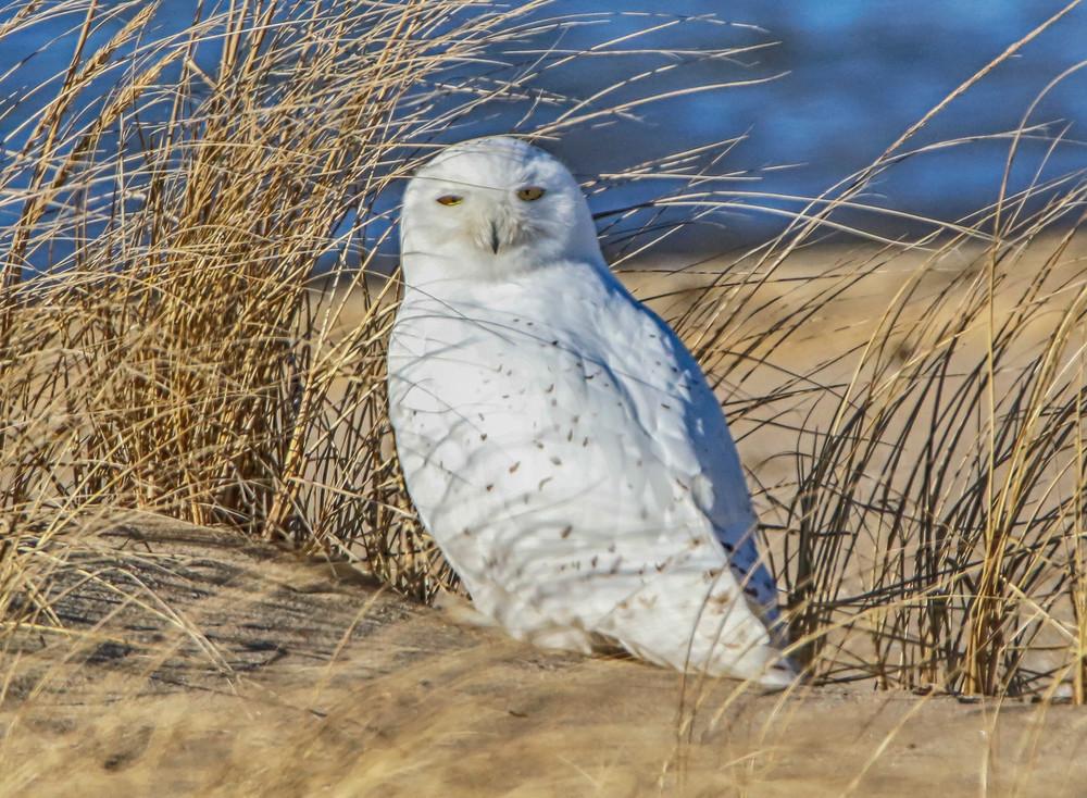 Cape Poge Snowy Owl Art | Michael Blanchard Inspirational Photography - Crossroads Gallery