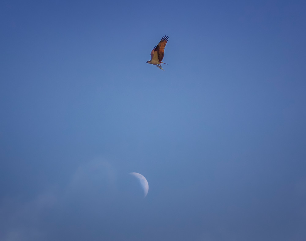Osprey With Fish Over The Moon