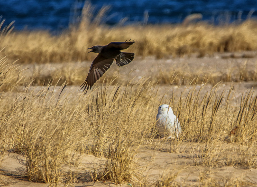Snowy Owl and Crow