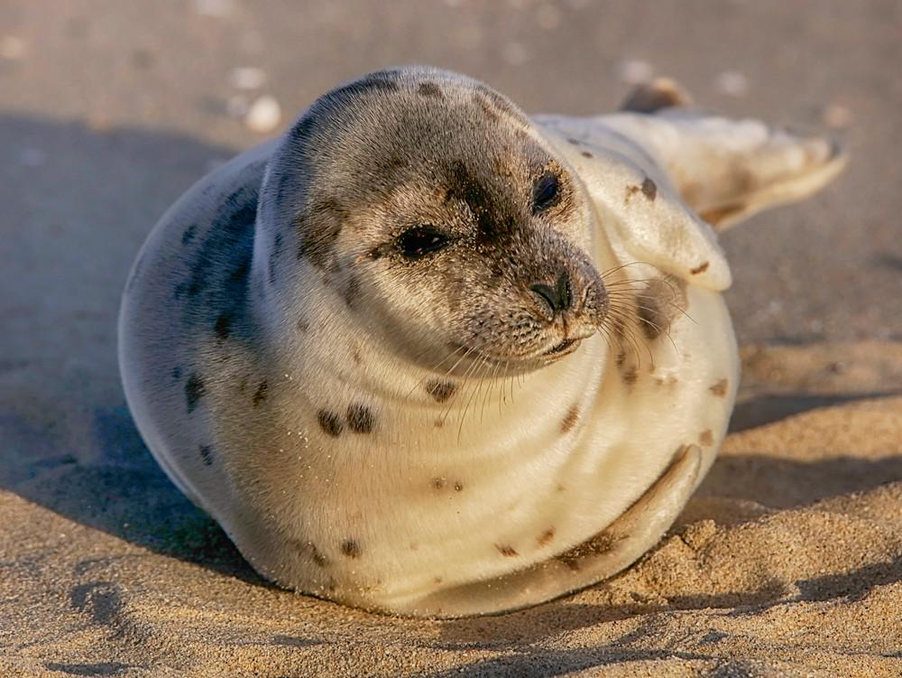 Norton Point Harbor Seal