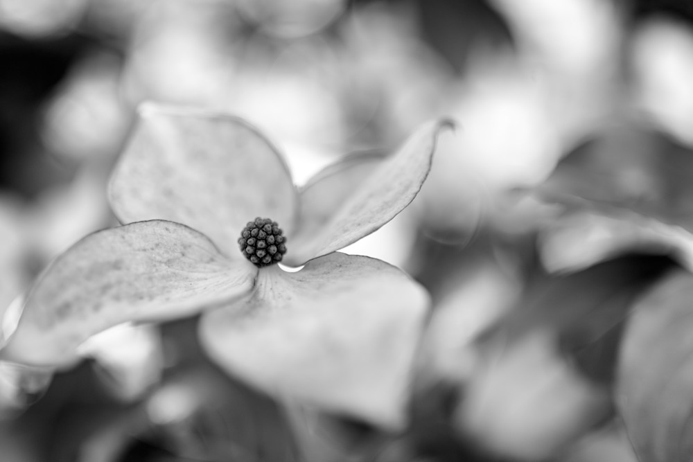 Kousa Dogwood by Rick Berk