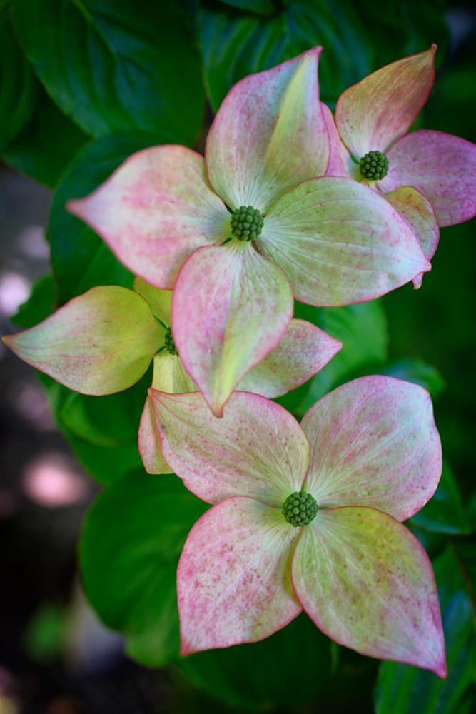Pink Chinese Dogwood