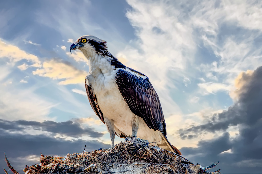 The Osprey Art | Artist David Wilson