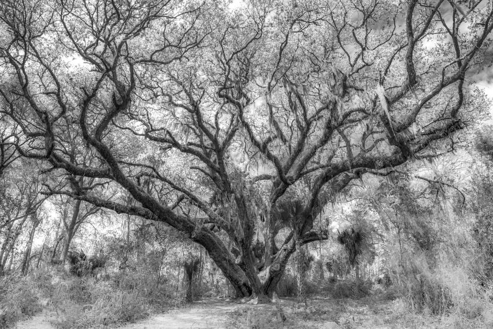 Ginormous Oak