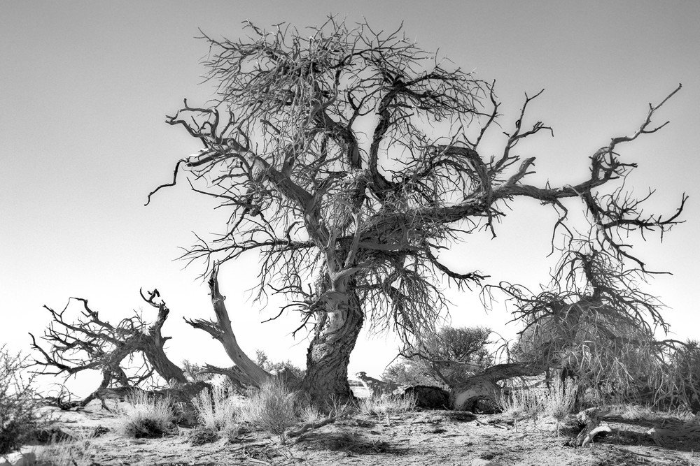 Muley Tree