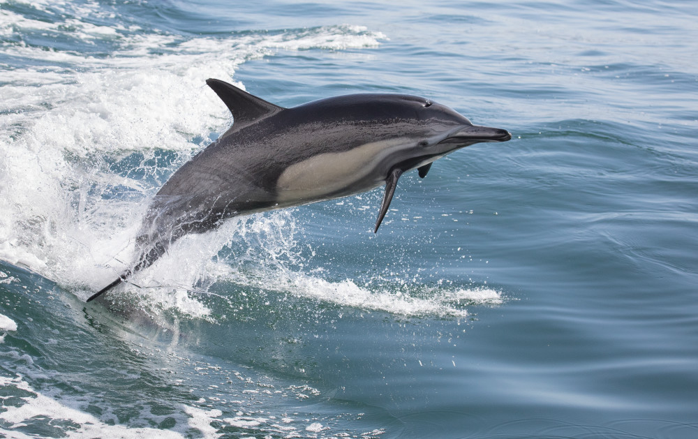 Dolphin leap ascending