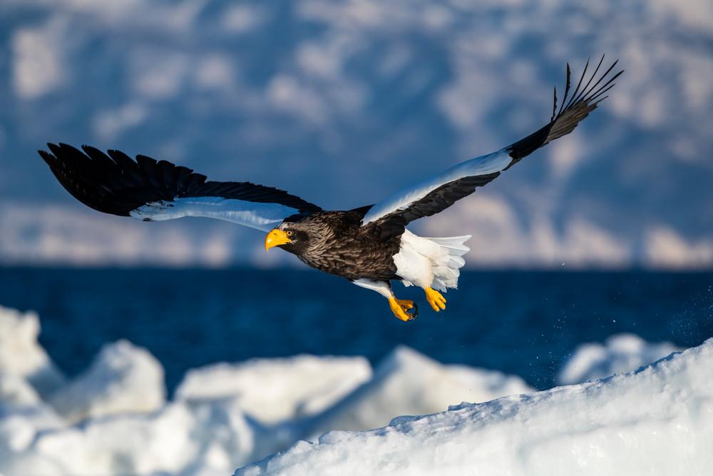 A stellar sea eagle flying over drift ice
