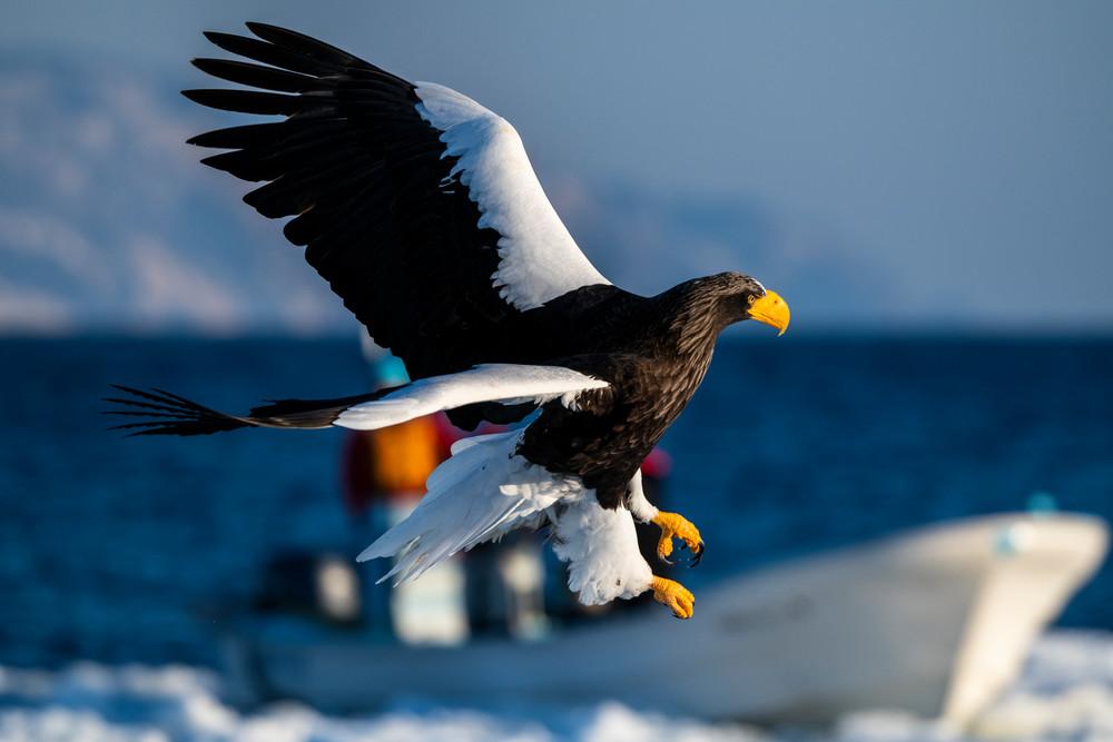 A stellar sea eagle and a small boat