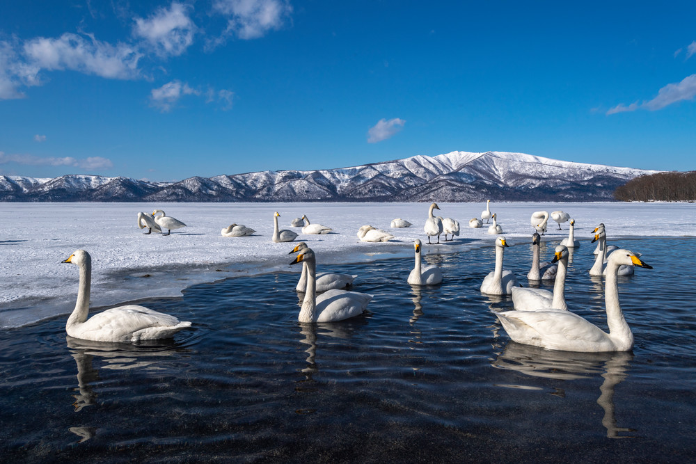 Great whooper swans in Kussharo lake