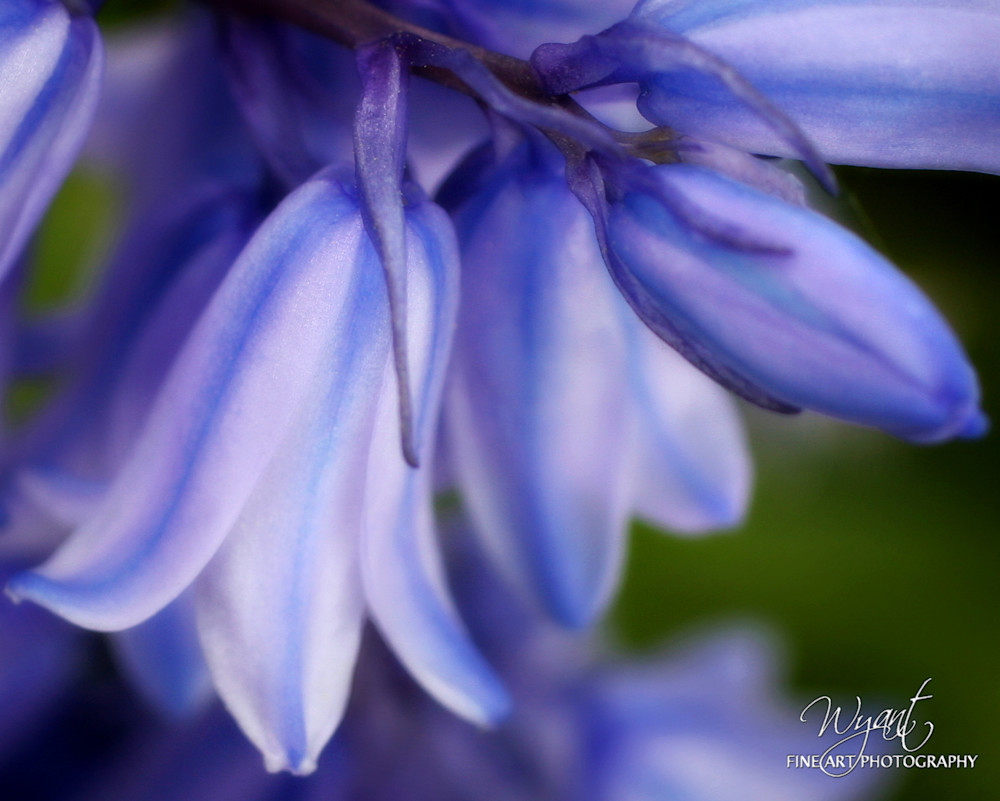 Bluebell: Shop Fine Art Photography | Jim Wyant, Master Craftsman (317)663-4798