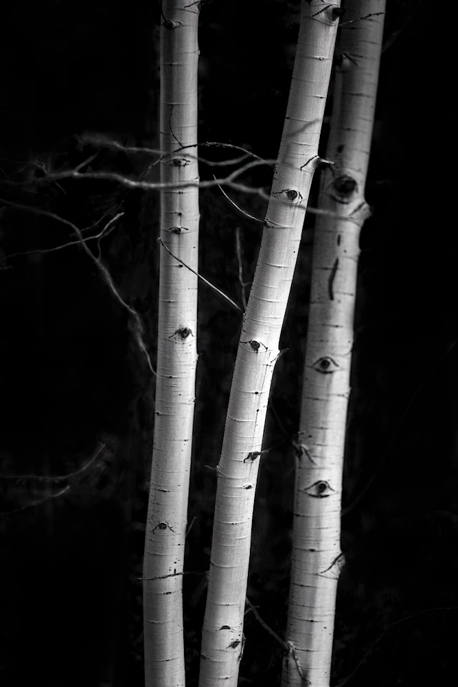If You Love Trees Collection - bw | Aspens 3 - bw. This is a minimalist fine art photograph of aspen trees by David Zlotky.