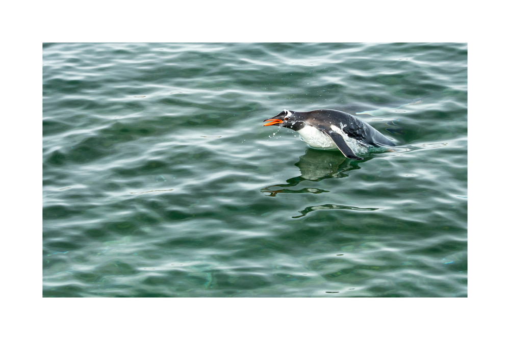 Photo of a Gentoo Penguin coming up for air.
