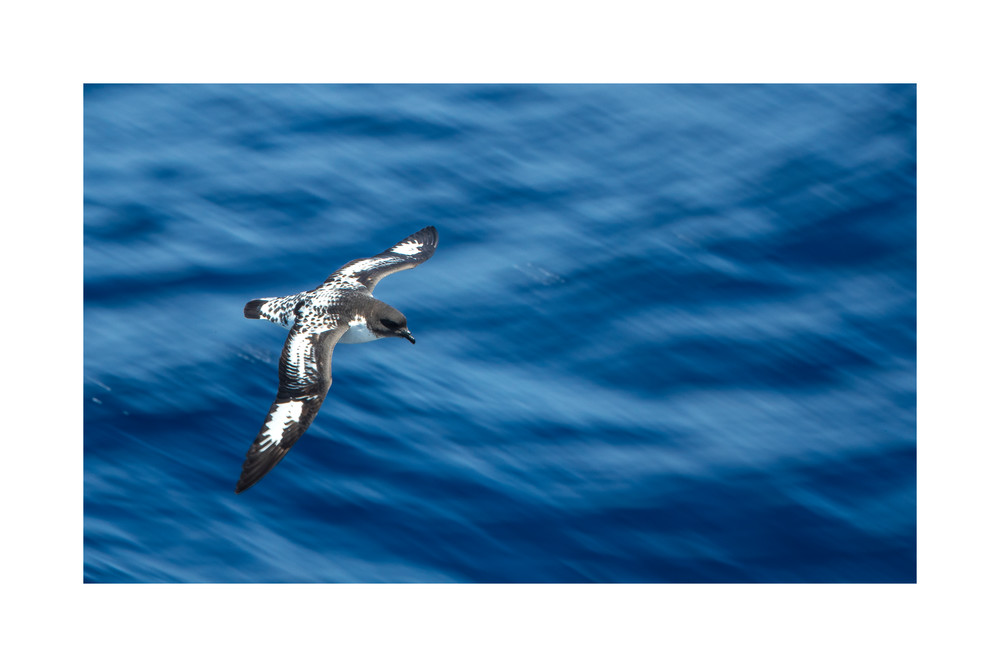 Photograph of a Cape Petrel in Flight.