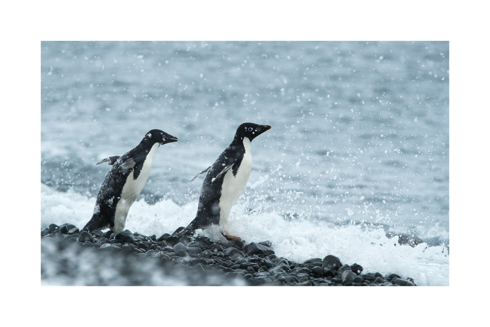 Photograph of two adelie penguins on the waters edge.