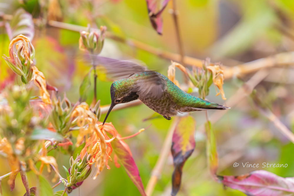 A female Anna's hummingbird sipping nectar from a flower.