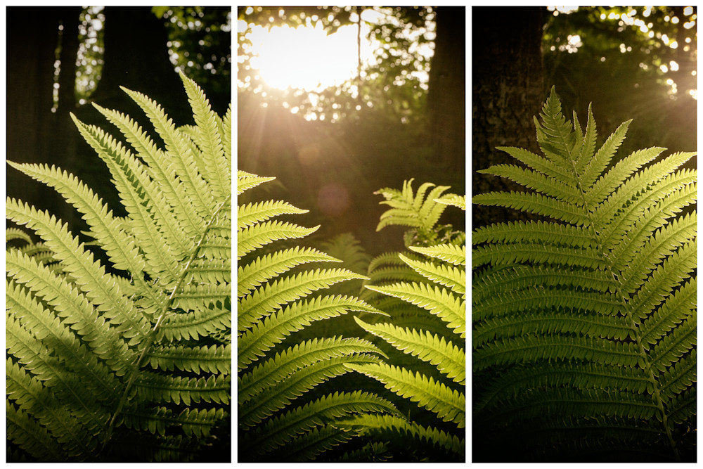 Fern Sunset