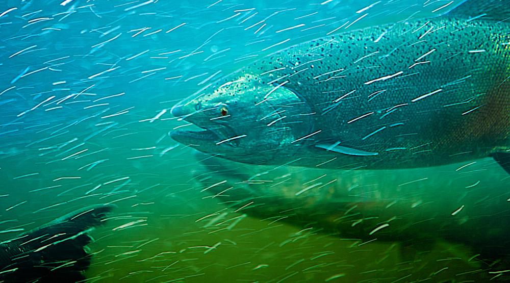 Up Stream Salmon 39 Underwater