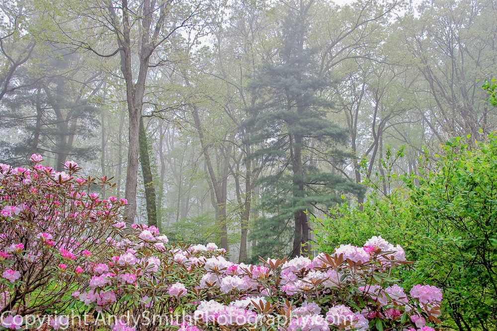 Jenkins Arboretum, rhododendron, misty morning