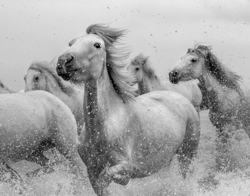 Running white horses in the Carmague