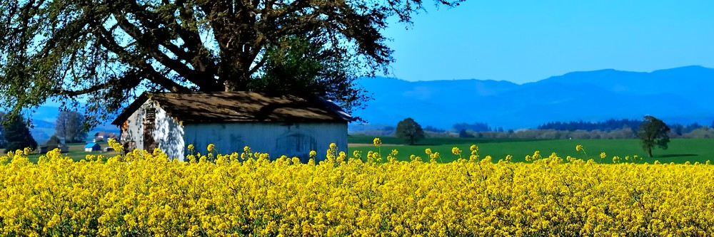 Yellow Mustard Shed Tree