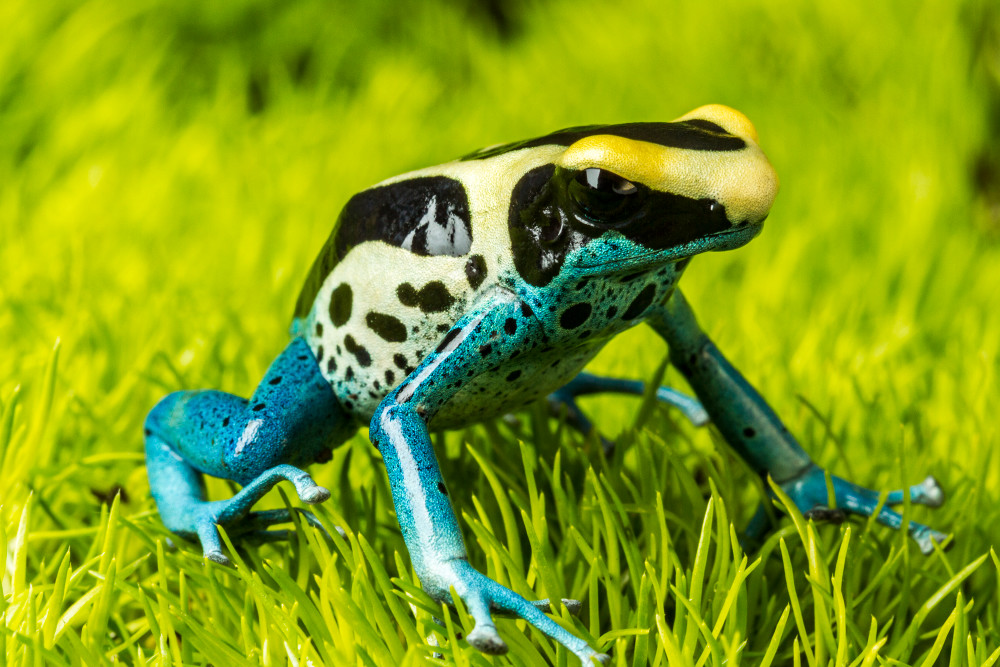 wholesale dealer 4f354 8bae4 Blue and Yellow Poison Dart Frog Photograph For Sale As Fine Art