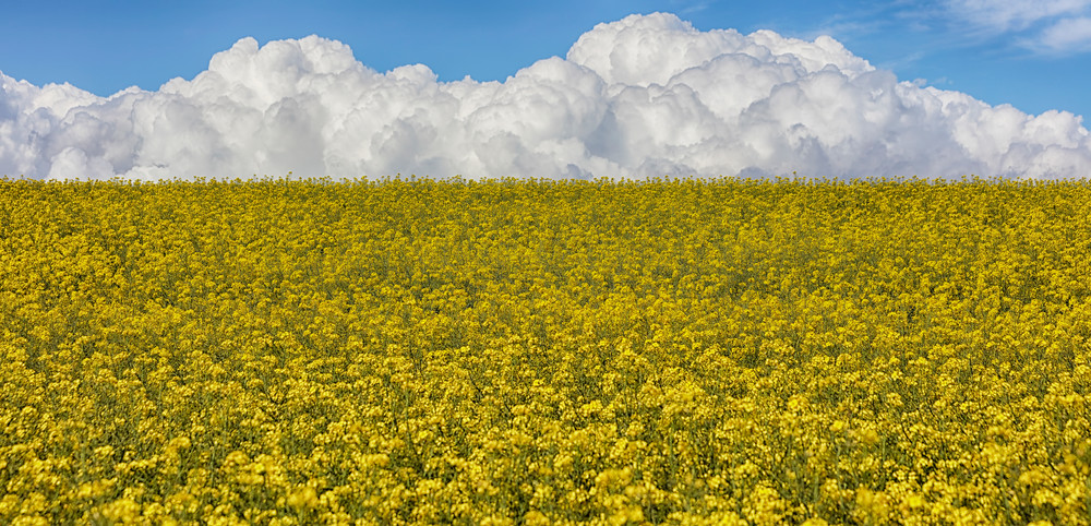 Balycotton Fields of Gold
