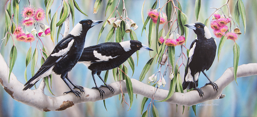 Magpie Melody - Magpies In Flowering Eucalyptus | Natalie Jane Parker | Australian Native Wildlife