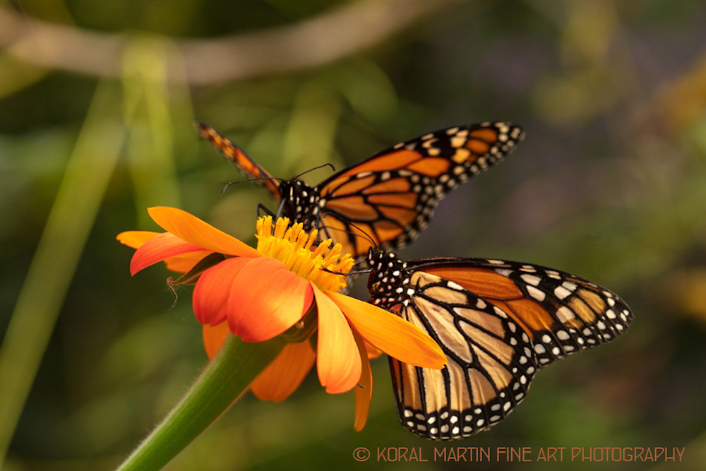 Monarch Butterfly Photograph on Zinnia 6237 | Butterfly Photography | Koral Martin Fine Art Photography