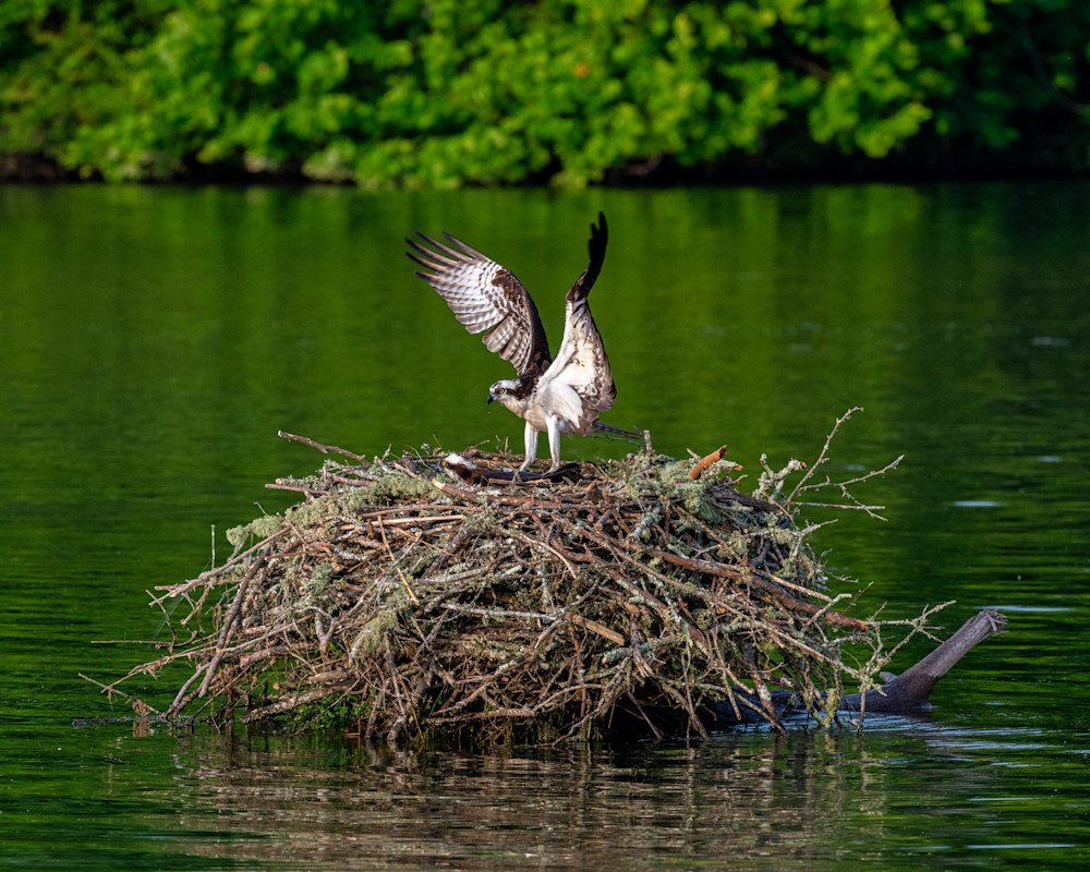 Osprey touching down photography print