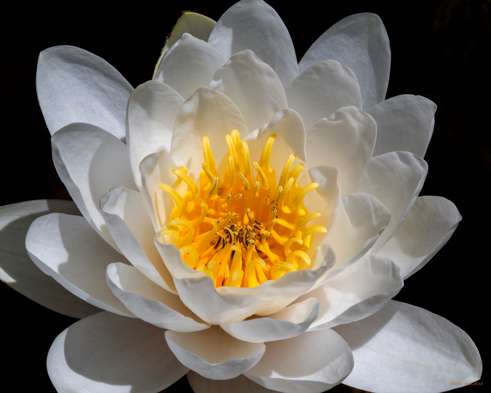 DP434 CH Water Lilly