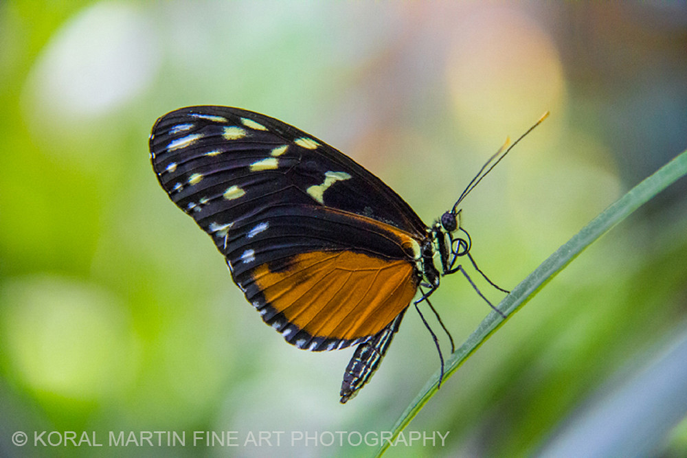 Black and orange butterfly on leaf Photograph 3735 | Butterfly Photography | Koral Martin Fine Art Photography
