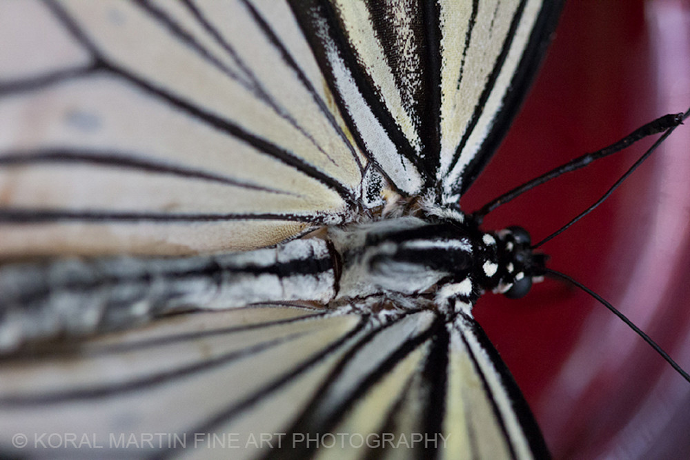 Black and White butterfly close Photograph 3644 | Butterfly Photography | Koral Martin Fine Art Photography