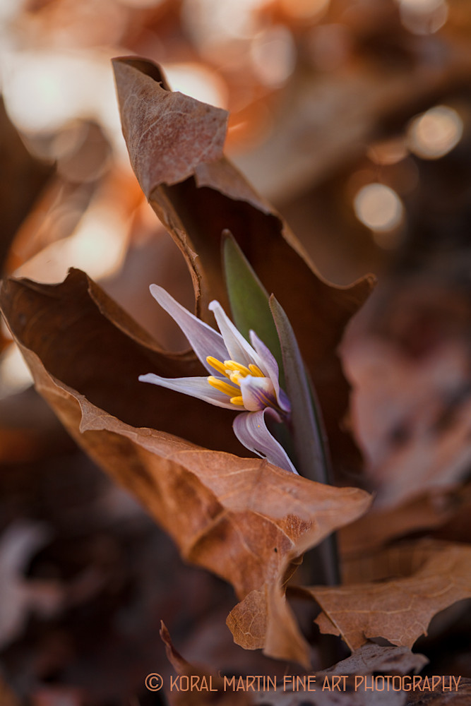 Trout lily Photograph 8424 | Wildflower Photography | Koral Martin Fine Art Photography