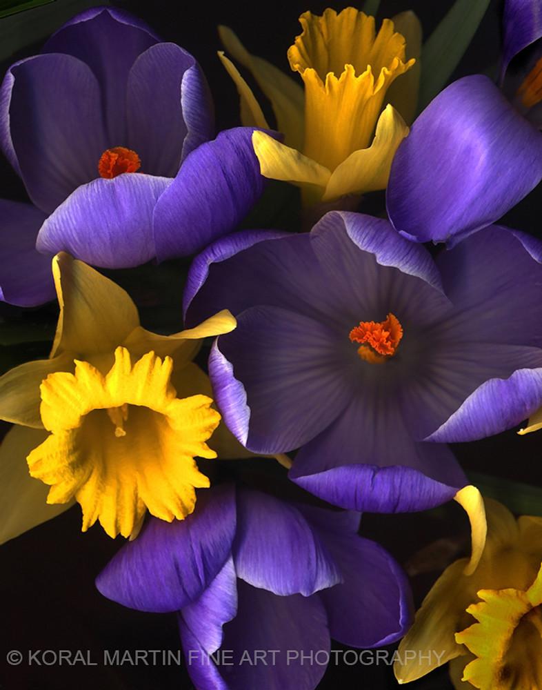 Daffodil Crocus  | Flower Photography | Koral Martin Fine Art Photography