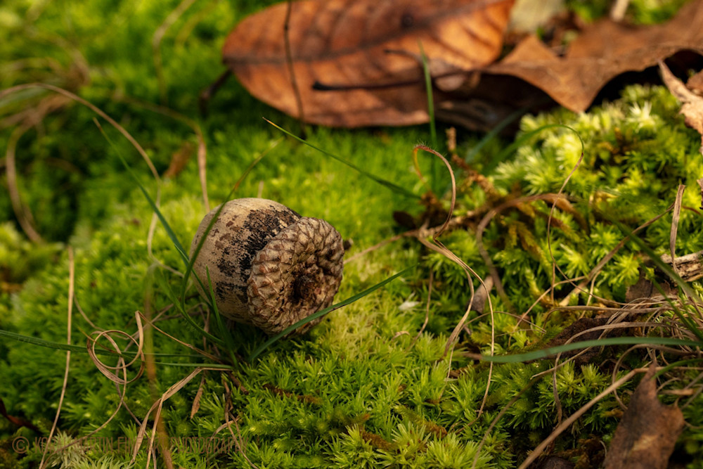 Acorn on Moss Photograph 0686 BF LF  | Macro Photography | Koral Martin Fine Art Photography