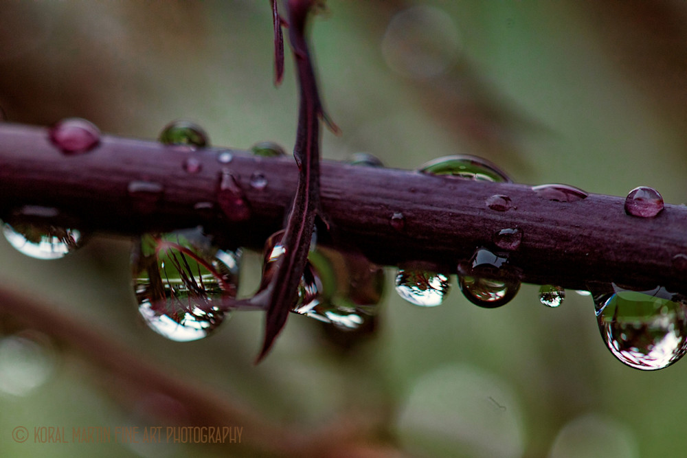 Reflecting waterdrops on Red Maple Tree Photograph 9691 | Macro Photography | Koral Martin Fine Art Photography
