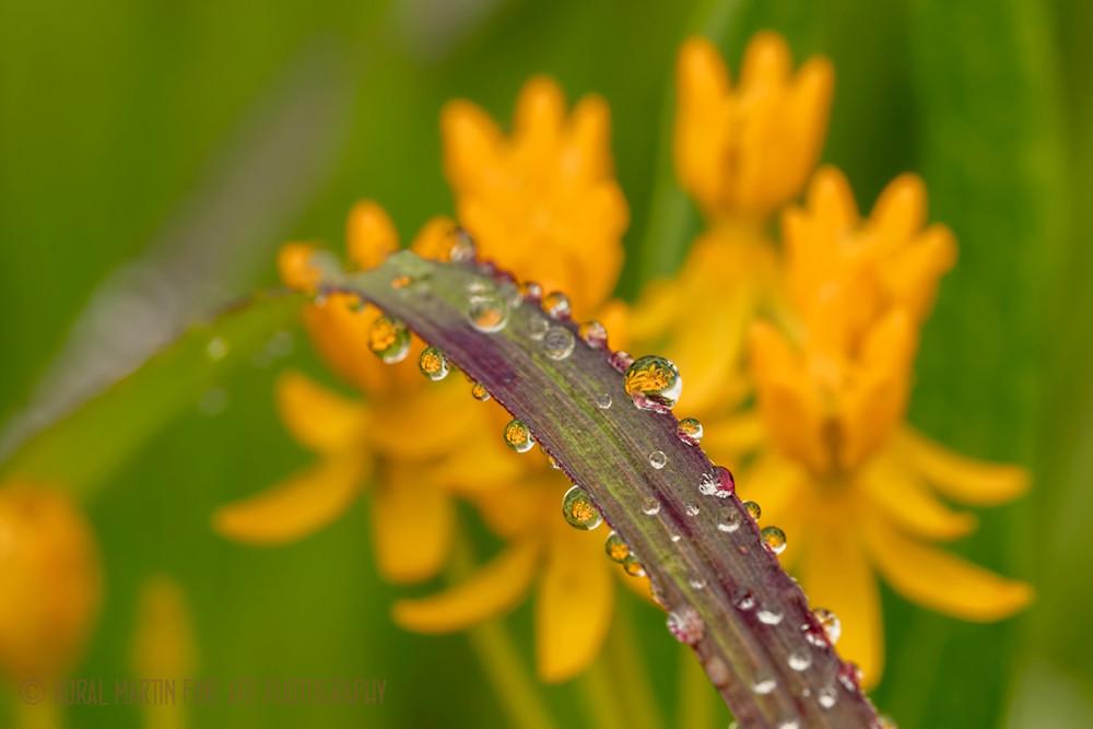 Raindrops Milkweed Reflection Photograph 380916 | Macro Photography | Koral Martin Fine Art Photography
