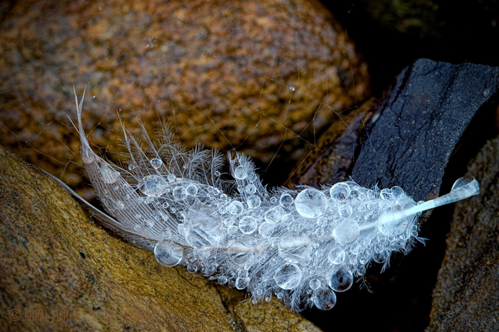 Feather with water drops  photograph 2148 | Macro Photography | Koral Martin Fine Art Photography