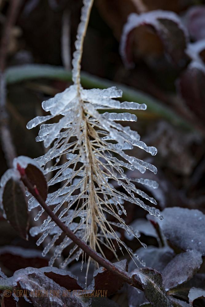 Iceonrass9901 Photograph 2400  | Macro Photography | Koral Martin Fine Art Photography