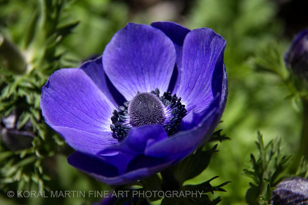 Anemone Purple Photograph 9992  | Flower Photography | Koral Martin Fine Art Photography