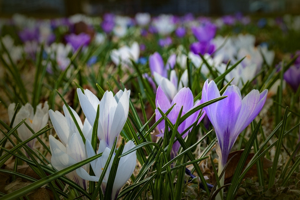 Crocus Photograph 8550 | Flower Photography | Koral Martin Fine Art Photography