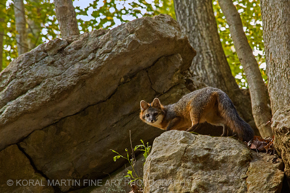 Carter caves fox Photograph 9425  | Wildlife Photography | Koral Martin Fine Art Photography