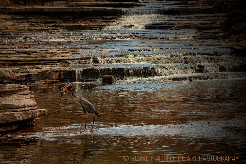 Blue Heron Photograph 4127  | Wildlife Photography | Koral Martin Fine Art Photography