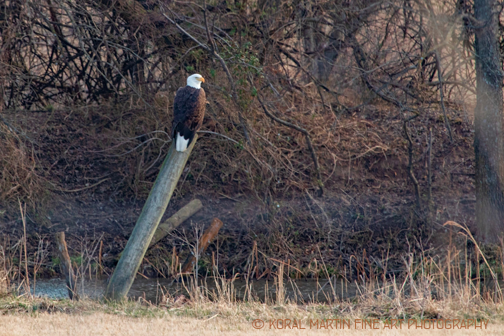 Eagles On post Photograph 6950 | Wildlife Photography | Koral Martin Fine Art Photography