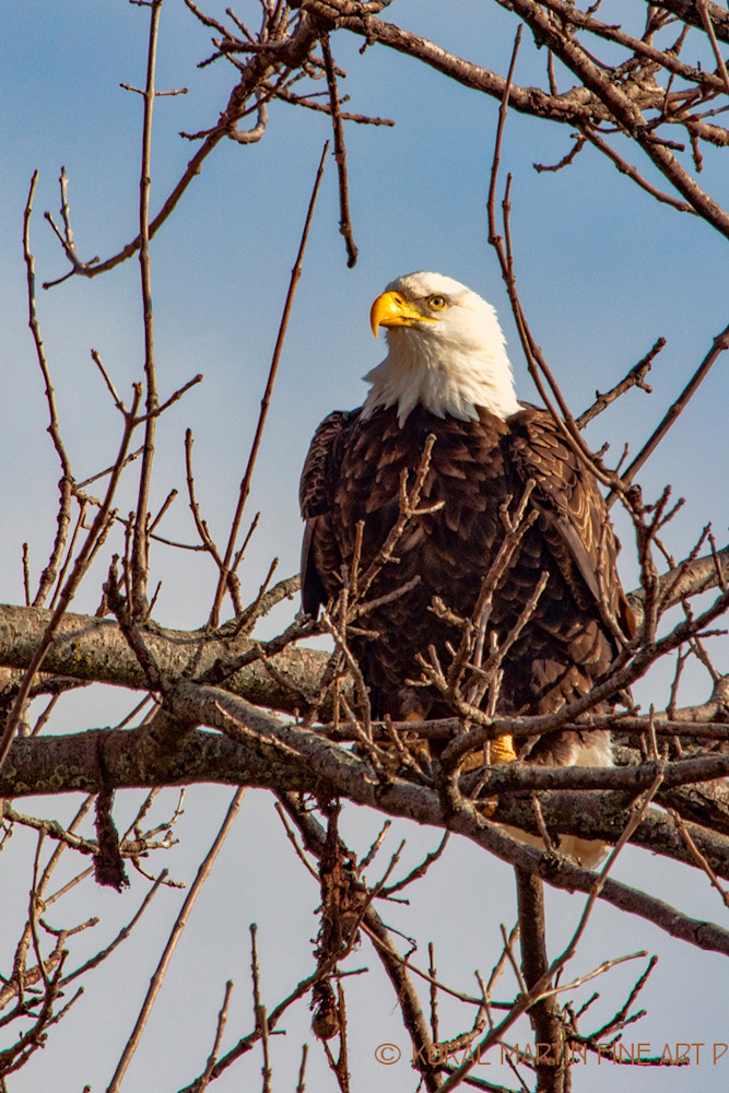 Eagles In tree  6839  Photograph | Wildlife  Photography |  Koral Martin Fine Art Photography
