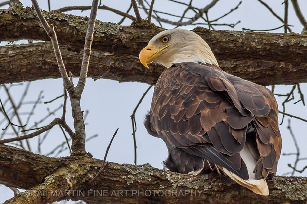 Eagle tree Stella Photograph 8704 C2  | Wildlife Photography | Koral Martin Fine Art Photography