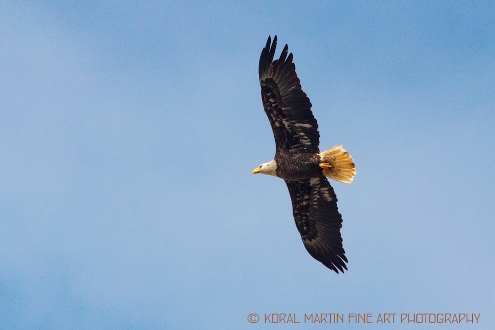 Eagles Flying Newtonia Photograph 7021 C2 Photograph 19 Koral Martin_oxovcl.jpg | Wildlife Photography | Koral Martin Fine Art Photography