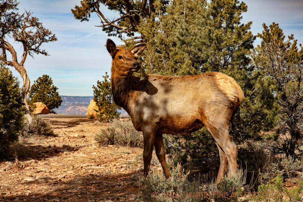 Grand Canyon Elk Photograph 3323 | Wildlife Photography | Koral Martin Fine Art Photography