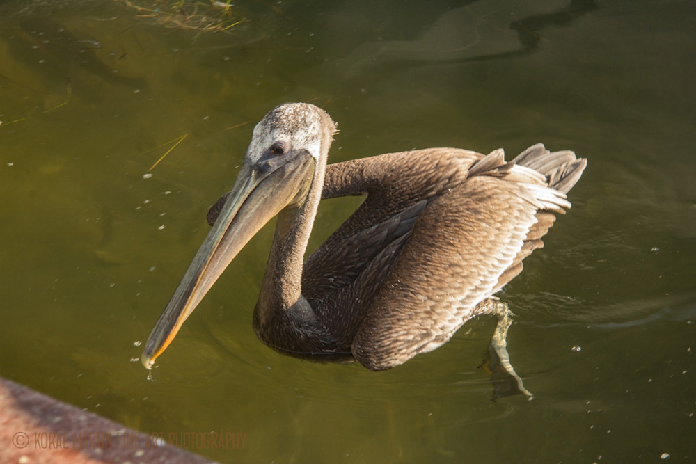 Pelican  Photograph 9063 FL  | Florida Photography | Koral Martin Fine Art Photography