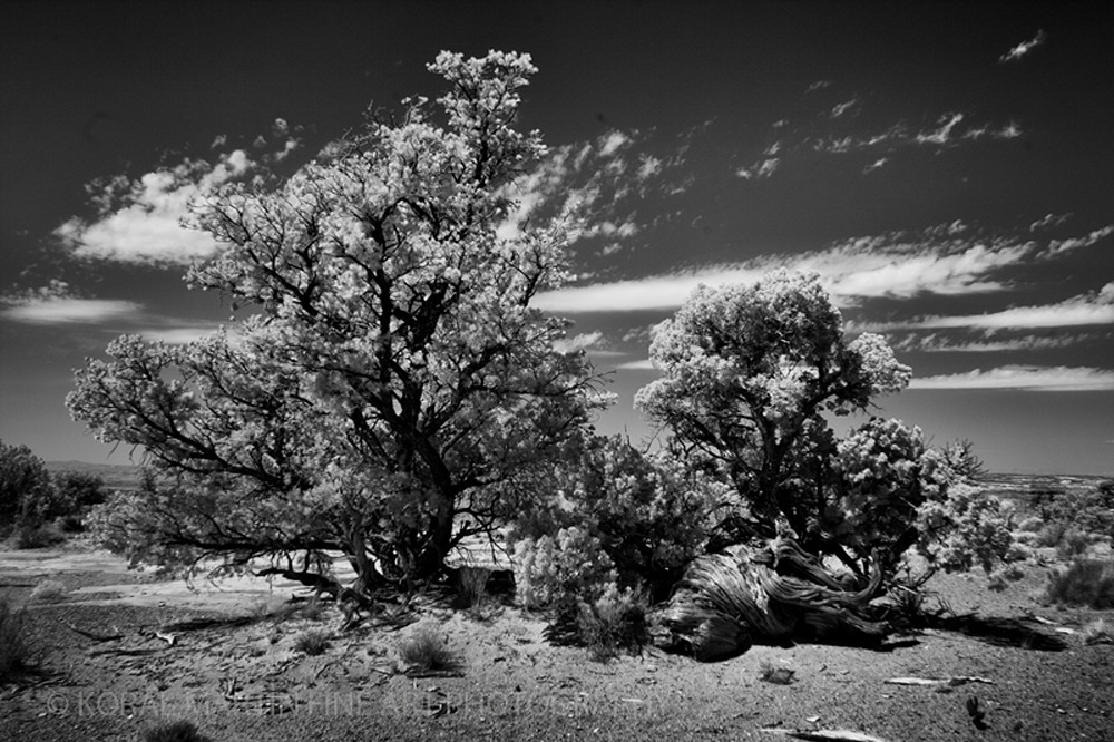 Infrared Bristol Cone Pine Photograph 5657  | Infrared Photography | Koral Martin Fine Art Photography